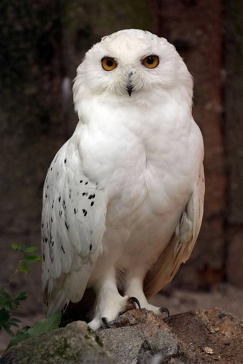 large white owl owls pinterest