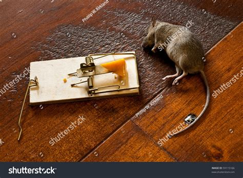 mouse benching mouse trap dead mouse laying beside mouse trap stock photo 59115166