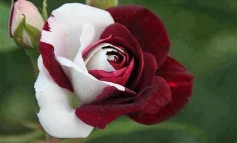 imagenes de rosas sorprendentes photo collection rainbow rose flower bloom