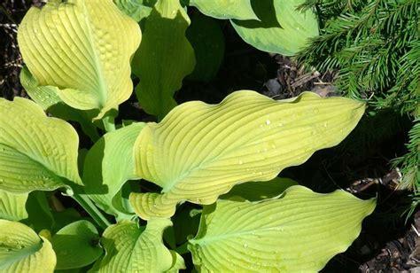 gardensonline hosta large cultivars