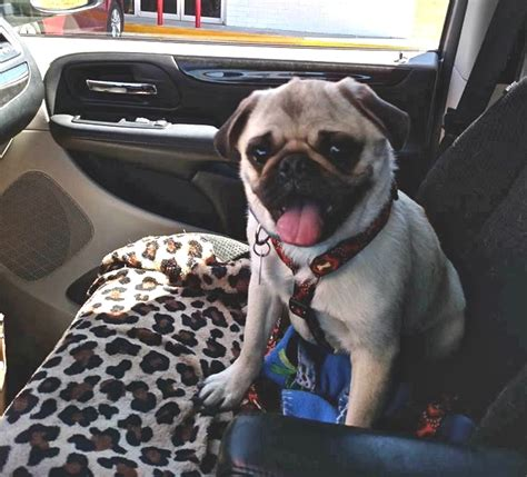 homeward bound pug rescue volunteers and a psychic aid in hunt for the lost pug the city sentinel