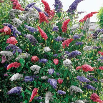 multi colored butterfly bush 3 in 1 butterfly bush 58222 blooms in three colors