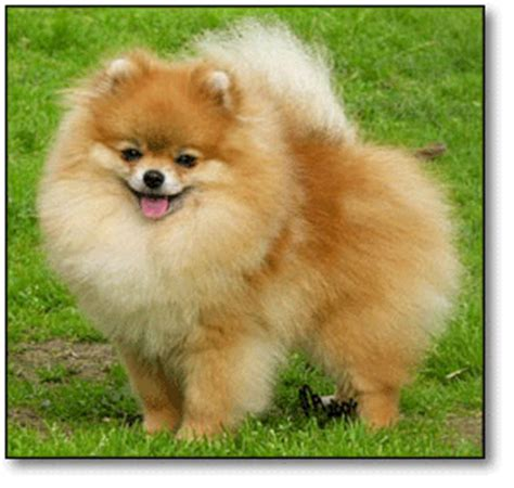 bi mar pomeranians bi mar pomeranian puppies for sale pictures of pomeranians international