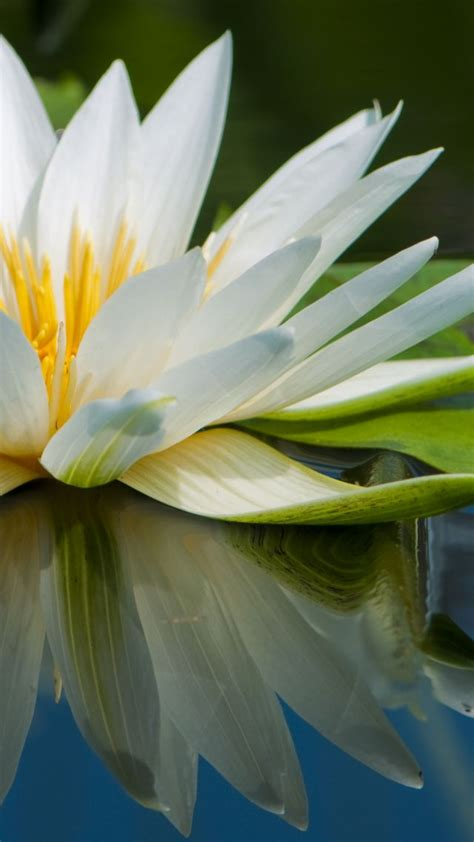 wallpaper lotus   wallpaper flowers lake river os