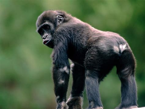 monkey and monkeys images gorilla hd wallpaper and background photos 14750700