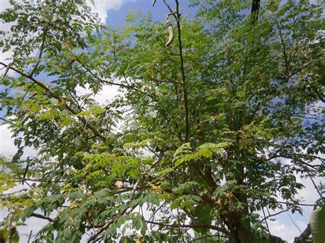 A Tree Miracle Free Moringa Tree Veganlogy