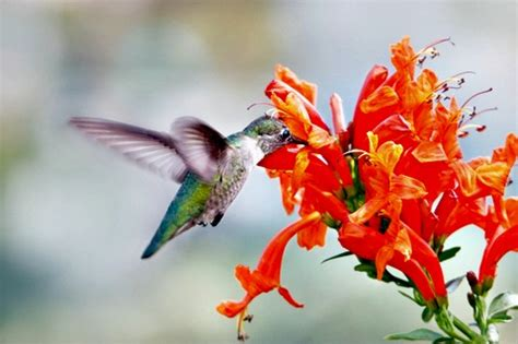 mating habits of hummingbirds where are the hummingbirds