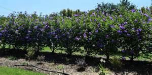 Australian Native Shrub Purple Flowers - alyogyne bulleen art amp garden