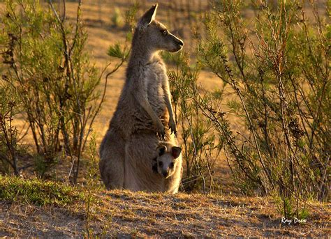 kangaroo and kangaroo photographs