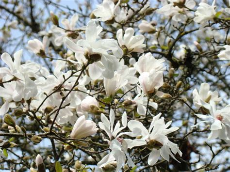 white magnolia flower tree spring flowers art by baslee troutman fine art prints in