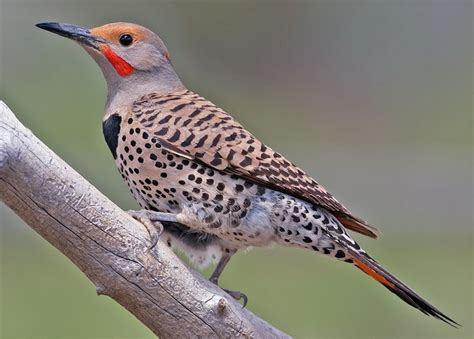 northern flicker colaptes auratus birds