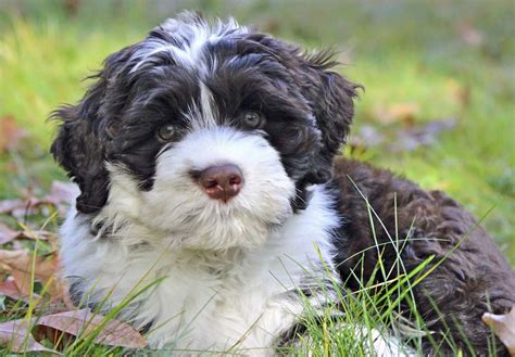 water puppies portuguese water puppies for sale page 2 akc puppyfinder