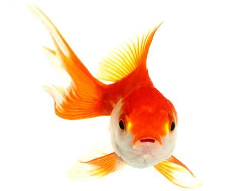 vasca pesce rosso maila a kamal pesci intelligenti zoelagatta