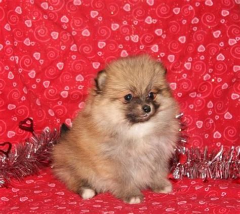 pomeranian puppies for sale missouri 119 best pomeranian puppies for sale images on