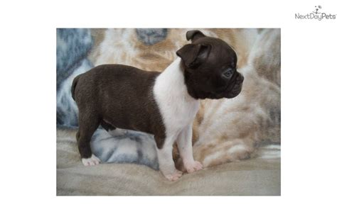akc puppy finder puppies for sale by local breeders dogs 4 sale puppy finder rachael edwards