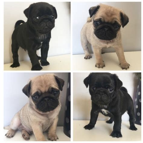 pug puppies for sale newcastle pug puppies for sale ready to leave 30th july newcastle upon tyne tyne and wear