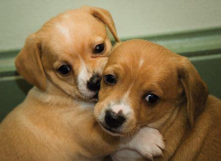 cheagle puppies cheagle puppies animals