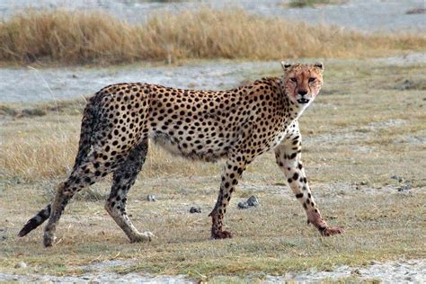 south african cheetah simple english wikipedia the free cheetah simple english wikipedia the free encyclopedia