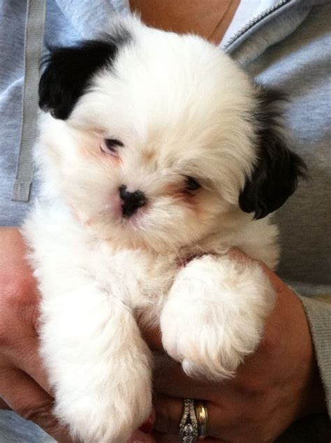 7 week shih tzu puppy care 17 best images about shih tzu on pets puppys and