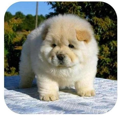 pudgy puppy 11 best images about all kinds of on chow chow pug and smooth