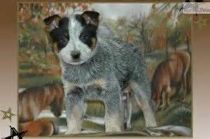 blue heeler puppies for sale in missouri blue heeler puppies for sale in missouri baby animals missouri