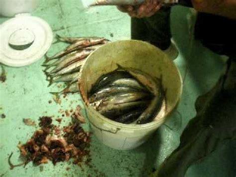 pesca allo sgombro porto garibaldi adriano e baldo pesca allo sgombro 2