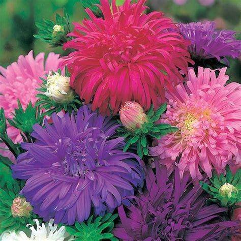 Benih Bunga Aster jual benih biji bunga aster ostrich feather cantik bisa