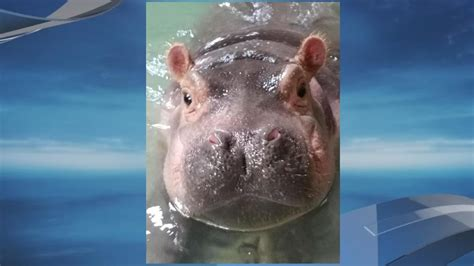 St Jude Home Giveaway 2017 Cincinnati - another milestone for cincinnati s fiona the hippo wztv