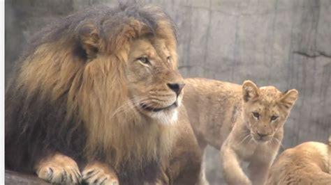 imagenes de leones y sus cachorros registran primer encuentro entre le 243 n y sus cachorros