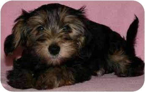 crested yorkie deena adopted puppy house springs mo crested yorkie terrier mix