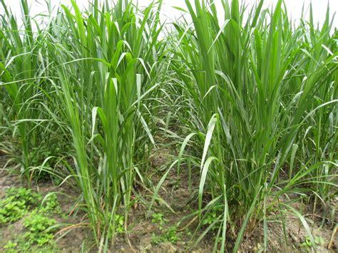 Rumput Raja King Grass begini cara tanam rumput gajah dan rumput odot petani top