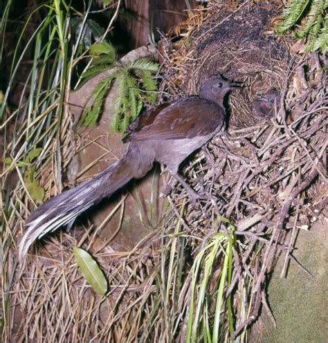 lyrebird beautiful moving and burung lyre pandai meniru suara di sekitarnya klub burung