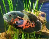 Ikan Oscar Kecil ikan oscar jenis harga dan cara merawatnya ikan hias