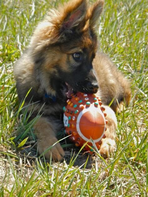 puppy k9 image gallery k9 puppies