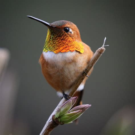 the rufous hummingbird midas gold