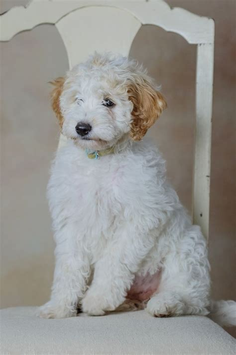goldendoodle puppy illinois 1000 images about mini goldendoodle puppies for sale on