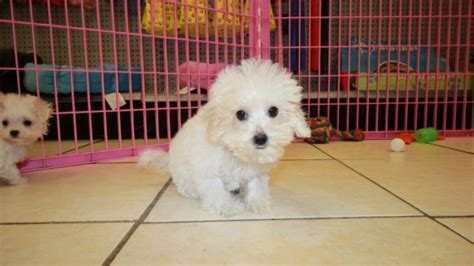 maltipoo puppies for sale ga beautiful teacup malti poo puppies for sale in ga teacup maltese poodle puppy
