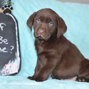 chocolate lab puppies ohio chocolate labrador retriever puppies for sale greenfield puppies