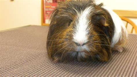 pine bedding for guinea pigs adopt a guinea pig androscoggin animal hospital blog