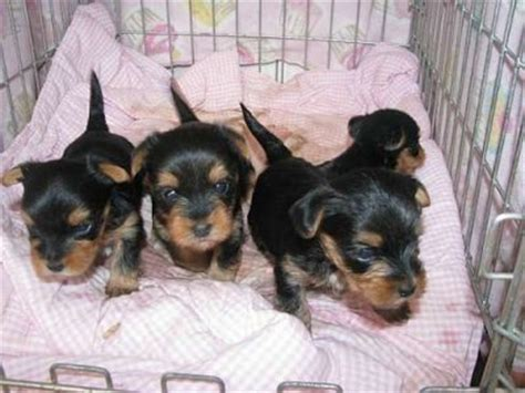teacup yorkies for adoption in louisiana teacup yorkies puppies for free adoption