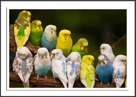 budgie colors budgerigar colour varieties