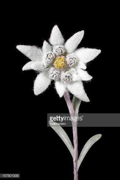 fiore stella alpina stella alpina foto e immagini stock getty images