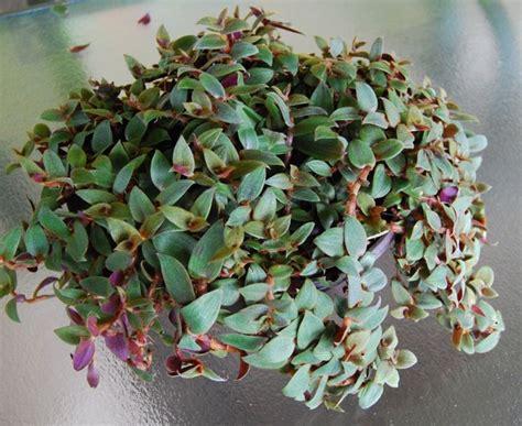 piante da interno resistenti tradescantia piante da interno tradescantia da
