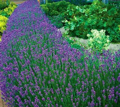 is lavender a perennial 50 lavender seeds hardy perennial ebay