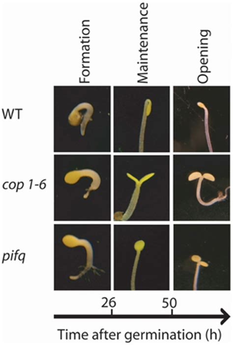 Section 24 2 Seed Development And Germination by Frontiers Hormonal Networks Involved In Apical Hook