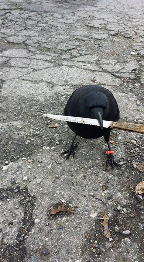 clever crow confounds crime scene