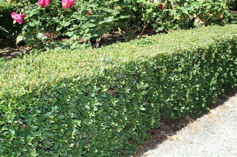 syzygium australe tiny trev common  dwarf lilly