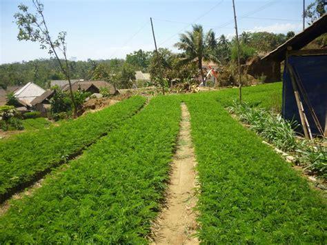 Bibit Sengon Unggul jual bibit tanaman unggul jual bibit unggul kualitas