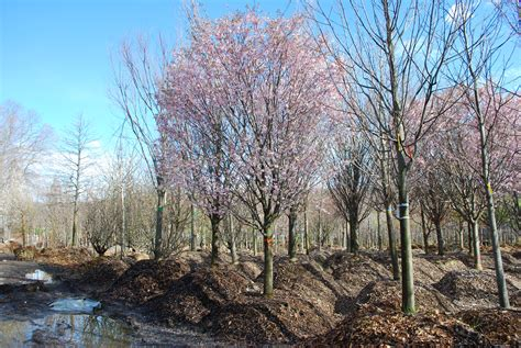flowering trees planters choice