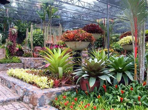 Botanical Garden Plants 17 Best Images About Buy Bromeliad Guzmania And Aechmea Plants On Gardens Palm